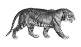 Tiger (Panthera tigris) / vintage illustration - 158604559