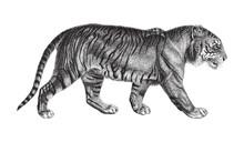 Tiger (Panthera Tigris) / Vintage Illustration