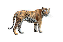 Tiger Isolated On White Backgr...