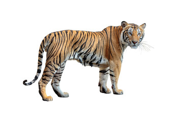 tiger isolated on white background.