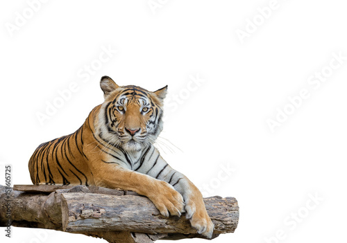 In de dag Tijger tiger isolated on white background.