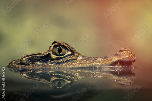 Foto op Canvas Krokodil Crocodile face and the reflection in the water