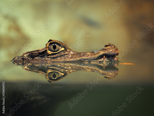 Poster Crocodile Crocodile face and the reflection in the water