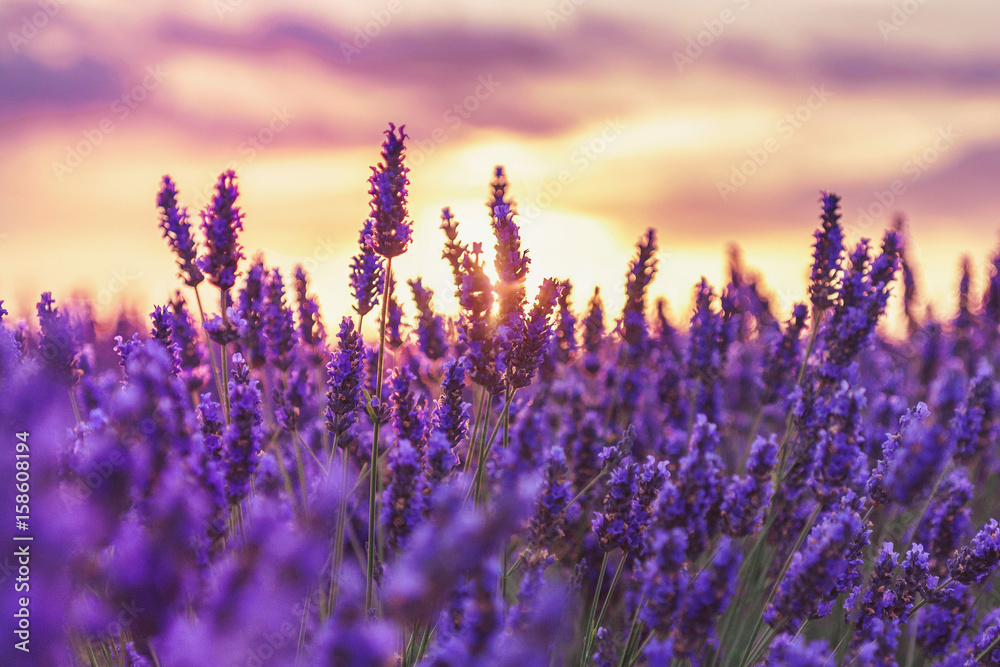 Fototapety, obrazy: Beautiful sunset on lavender fields in Provence, France.Lavender closeup on the background of the setting sun.Lavender field with a blurred focus.Lavender field over sunser sky.