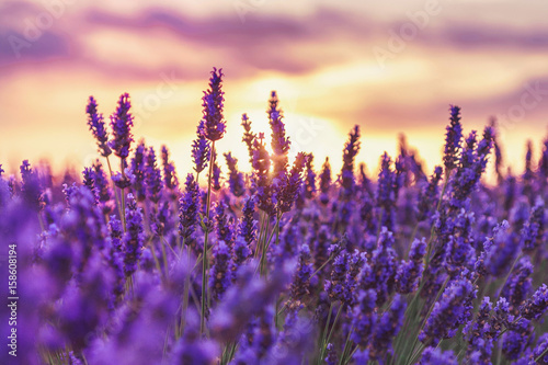 In de dag Snoeien Beautiful sunset on lavender fields in Provence, France.Lavender closeup on the background of the setting sun.Lavender field with a blurred focus.Lavender field over sunser sky.