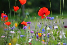 Blurry Purple, Red And Pink Cornflowers And Red Poppies With Selected Focus. Summer Meadow In Germany.