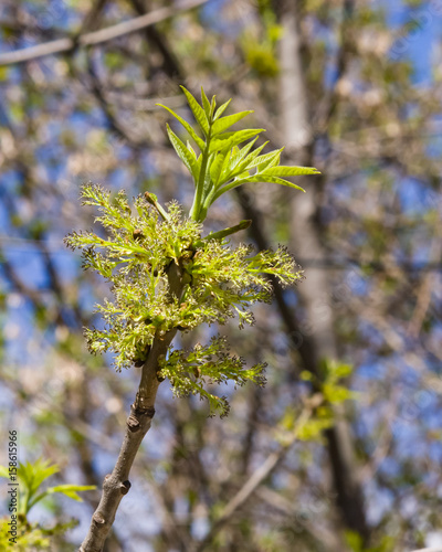 Blossom of European or Common Ash, Fraxinus excelsior, with bokeh background macro, selective focus, shallow DOF