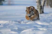 Siberian Tiger In The Snow (Panthera Tigris Altaica)