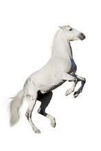 White Horse Rearing Up Isolated On White Background