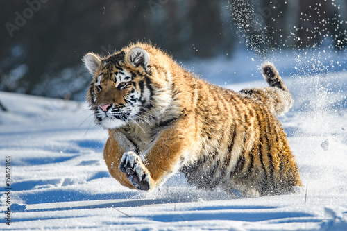 In de dag Tijger Siberian Tiger in the snow (Panthera tigris altaica)
