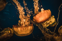 Atlantic Nettle Jellyfish