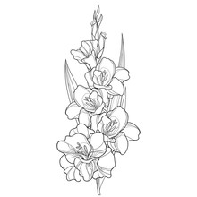 Vector Bunch With Gladiolus Or Sword Lily Flower, Stem, Bud And Leaf In Black Isolated On White Background. Floral Elements In Contour Style With Ornate Gladioli For Summer Design And Coloring Book.