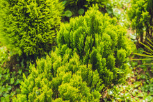 Tropical Plant Green Conifers ...