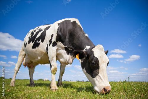 Poster de jardin Vache Vache primholstein laitière en campagne
