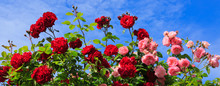 Red And Pink Roses On Sunny Sky Background.