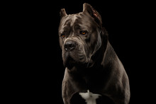 Portrait Of Sad Brown Cane Corso Dog, Studio Shot On Isolated Black Background