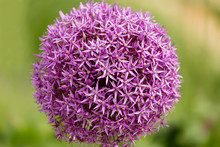 Close Up Of A Chives Flower Allium Jesdianum With Blurry Background In Summer