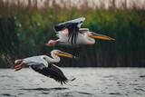 Pelikany lecące w tym samym kierunku - 158660502