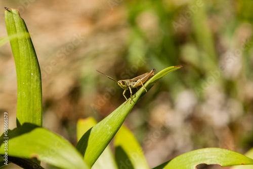 Fotografie, Obraz  Green grasshopper sitting on green leaf