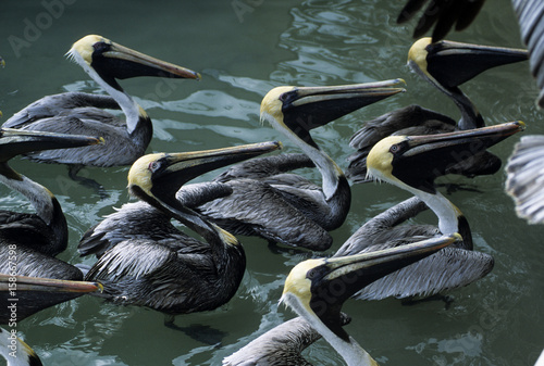 Pelicans waiting for scraps at fish cleaning station at dock Poster