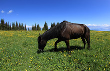 Horse Eating Grass On Beautiful Mountain Grassland