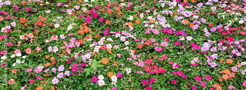 Top view a colorful flowerbed with verity of impatiens/balsaminaceae tropical flower such as walleriana, busy lizzie, balsam, garden balsam, zanzibar, patience plant, patient lucy. Panorama style.