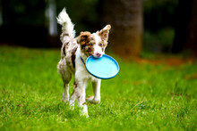 Dog Playing Witn Frisbee On A ...