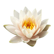 The White Lotus Isolated On Wh...
