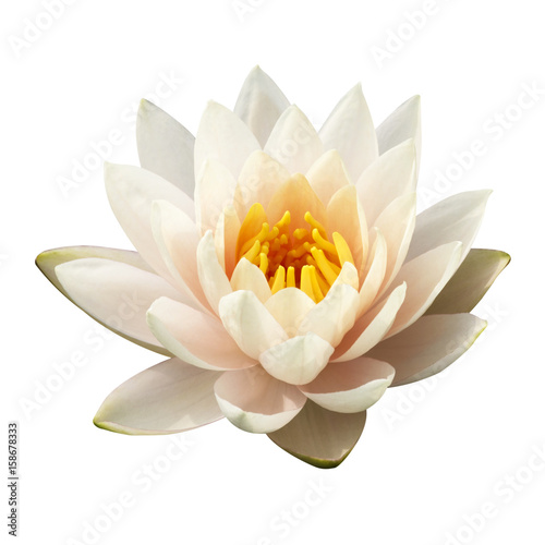Photo Stands Lotus flower The white lotus isolated on white background