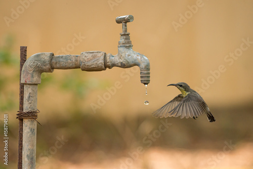 Female purple sunbird hovers by water tap