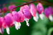 canvas print picture Bleeding heart