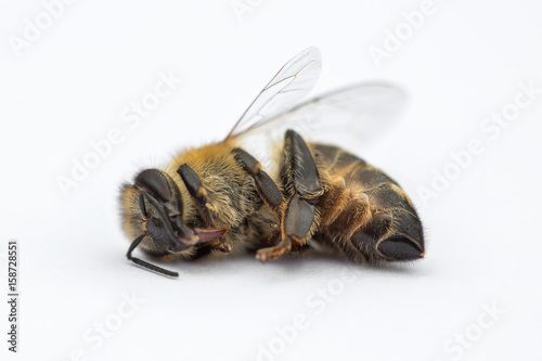 Macro image of a dead bee on a white background from a hive in decline, plagued by the Colony collapse disorder and other diseases