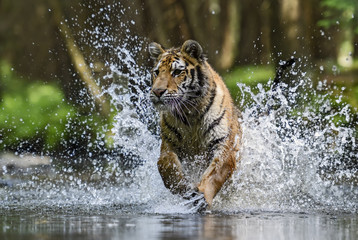 Fototapeta na wymiar Siberian Tiger hunting in the river