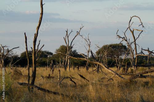 In de dag Baobab nature of the okavango delta in botswana
