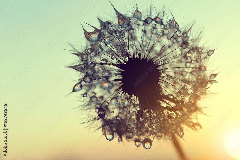 Fototapety, obrazy: Dmuchawiec przy wschodzie słońca