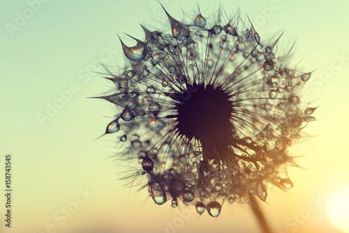 Obraz Dew drops on a dandelion seeds at sunrise close up. - fototapety do salonu
