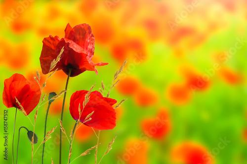 Plakat maki, kwiaty maku, pole makowe, makowa łąka, letnia łąka