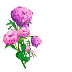 beautiful pink flowers ,peony, on a white