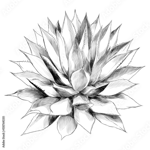 Bush agave of red top view sketch vector graphics black and white drawing Wallpaper Mural