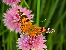 American Painted Lady Or American Lady Vanessa Virginiensis Gathering Nectar On Purple Chive Flowers In Herb Garden Orange-brown Wings With Black And White Spots On Forewing Underside Mottled Spots