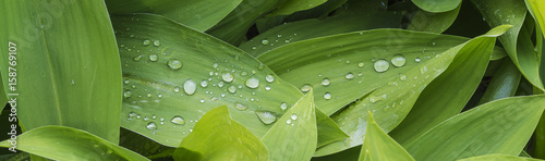 Staande foto Lelietje van dalen waterdroplets on green leaves of lily of the valley