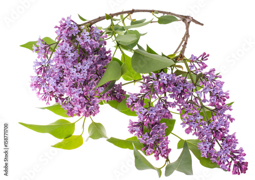 Recess Fitting Lilac Lilac branch isolated on white background