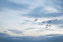 Pelicans Flying At Blue Sky
