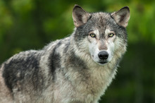 Grey Wolf (Canis Lupus) Looks Out Head And Body