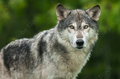 Vászonkép Grey Wolf (Canis lupus) Looks Out Head and Body