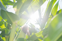 Corn Field Blurred Background With The Bright Sun Shines Through Maize Green Leaves And Corn Ear Seen