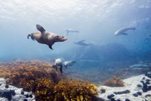 Seals Underwater Off Montague ...