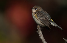 Yellow-Rumped Warbler In Fall ...