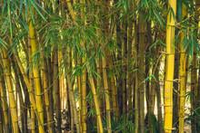 Ibirapuera Park, Sao Paulo, Brazil - Wild Yellow Bamboo Forest Inside The Park.