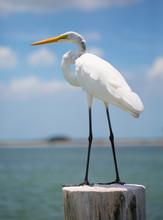 White Crane On Water